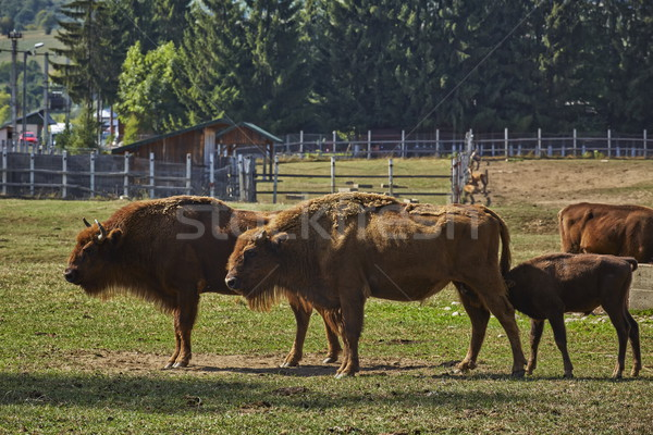European bison females and a calf suckling Stock photo © photosebia