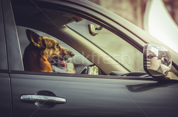 German shepherd at car steering wheel Stock photo © photosebia