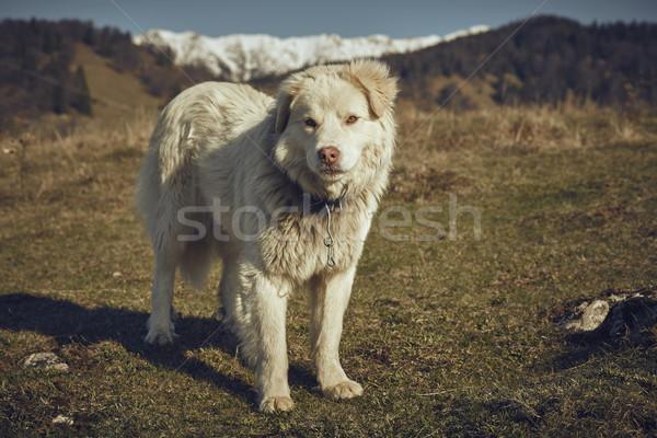 белый овчарка свободный металл Сток-фото © photosebia