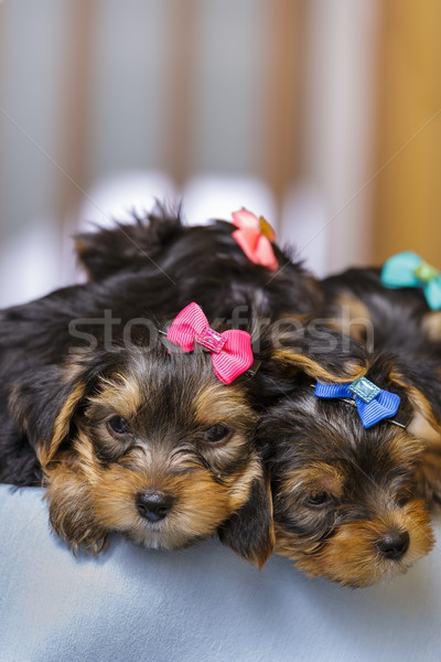 Slaperig yorkshire terriër puppies twee cute Stockfoto © photosebia