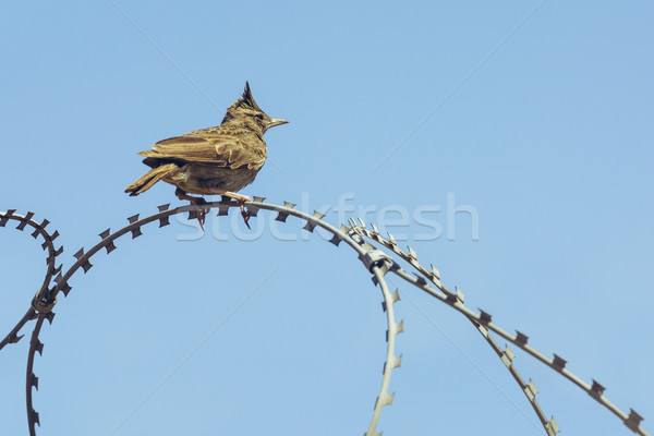 Crested lark on barbed wire Stock photo © photosebia