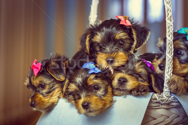 Foto stock: Yorkshire · terrier · cachorros · cesta · cinco · adorable