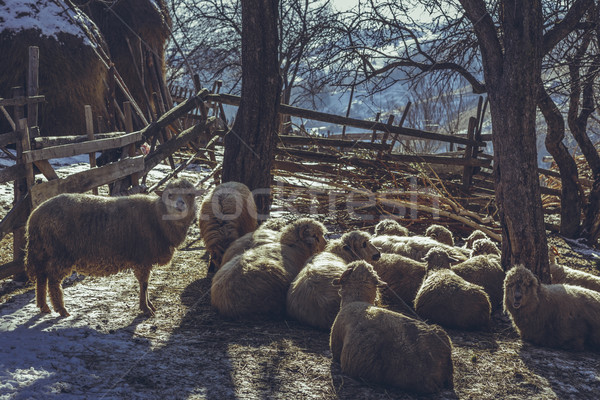 Sheep in enclosure Stock photo © photosebia