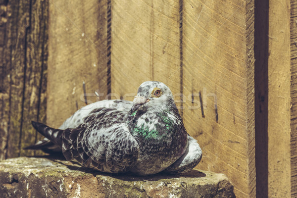 Resting spotted racing pigeon Stock photo © photosebia