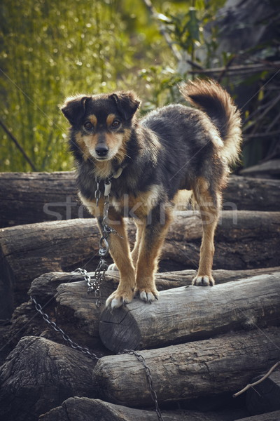 Attentive miserable dog Stock photo © photosebia
