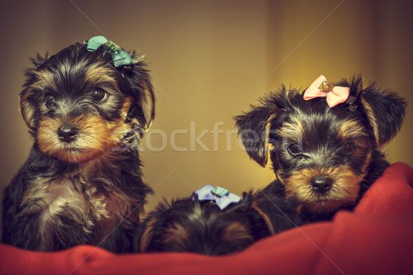 два Йоркшир терьер собака щенки любопытный Сток-фото © photosebia