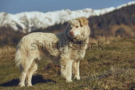 Stock photo: Alert white furry sheepdog