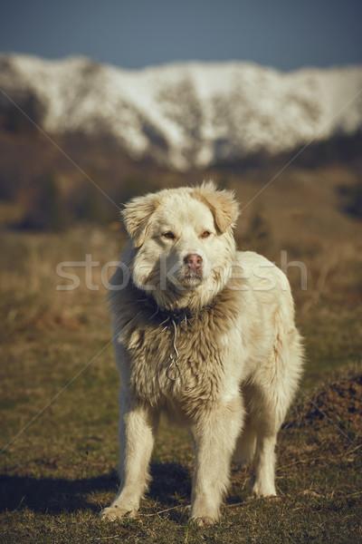 Watchful white furry sheepdog Stock photo © photosebia