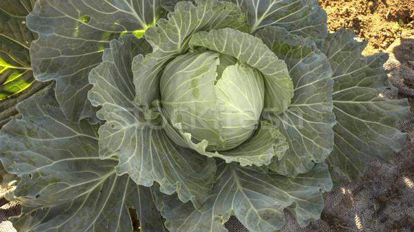 Сток-фото: капуста · растущий · землю · саду · фон