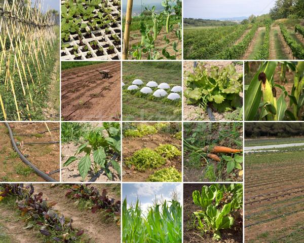 зеленый сельского хозяйства коллаж органический фотографии Сток-фото © photosil