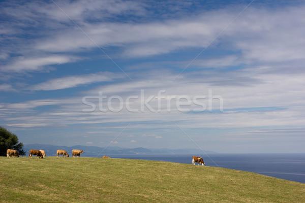 Vacche verde prato cielo albero nubi Foto d'archivio © photosil