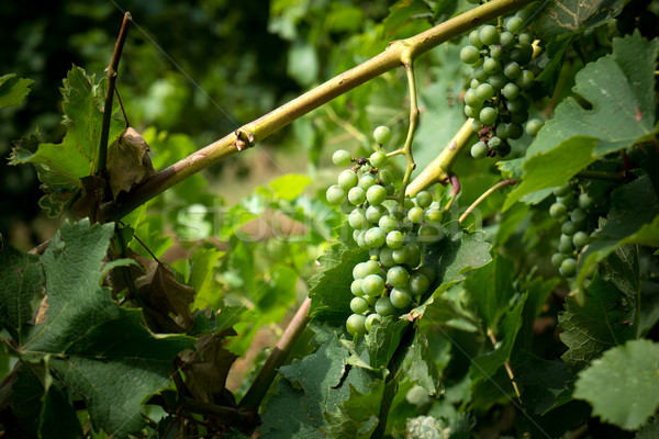 Foto stock: Uva · videira · monte · uvas · verdes · fruto · campo
