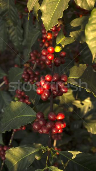 кофе филиала кофе органический плантация фрукты Сток-фото © photosil