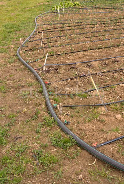 Drip irrigation Stock photo © photosil