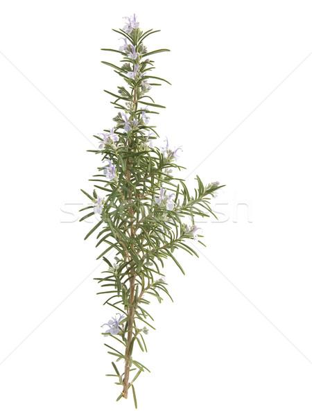 Rosemary Stock photo © photosil
