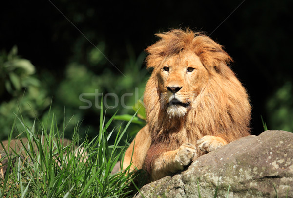 Male Lion in the wild  Stock photo © photosoup