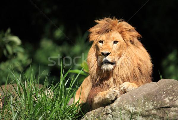 Mężczyzna lew króla bestia charakter Zdjęcia stock © photosoup