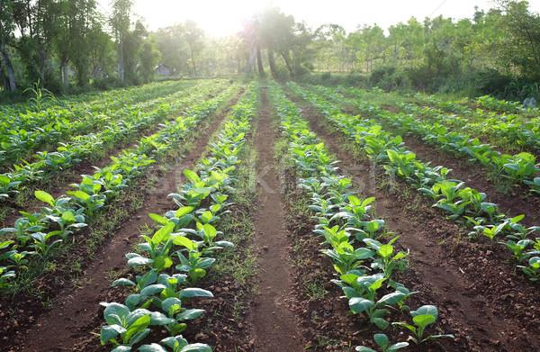 タバコ ファーム フィールド 工場 農村 ストックフォト © photosoup