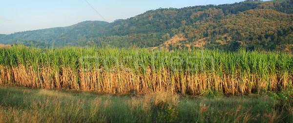 Stock photo: Sugar Cane panorama