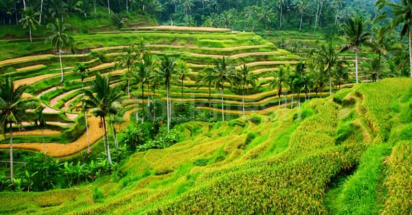 риса пейзаж терраса области Бали Индонезия Сток-фото © photosoup