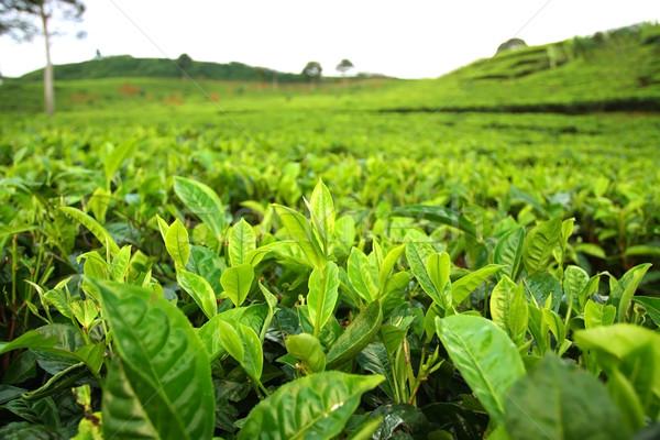 茶 農園 フィールド クローズアップ 自然 風景 ストックフォト © photosoup