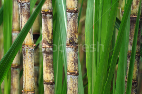 Close up of sugarcane plant Stock photo © photosoup