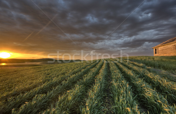 Newly planted crop Stock photo © pictureguy