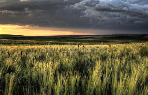 Saskatchewan pôr do sol trigo campos céu Foto stock © pictureguy