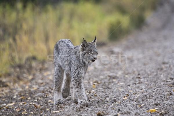 Rocky Mountain Lynx Stock photo © pictureguy