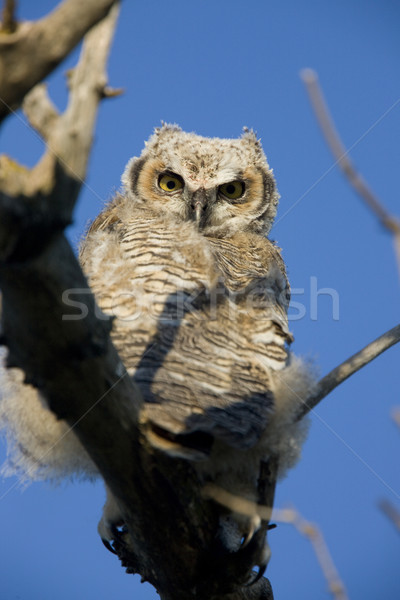 Great Horned Owl Stock photo © pictureguy