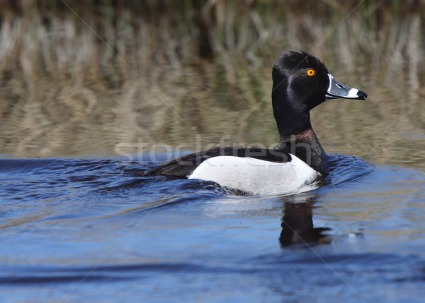 Ring necked Duck in roadside ditch Stock photo © pictureguy