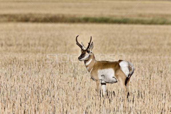 Pronghorn Antelope buck antlers Stock photo © pictureguy