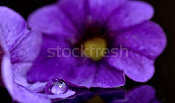 Reggel dicsőség közelkép makró stúdió virág Stock fotó © pictureguy