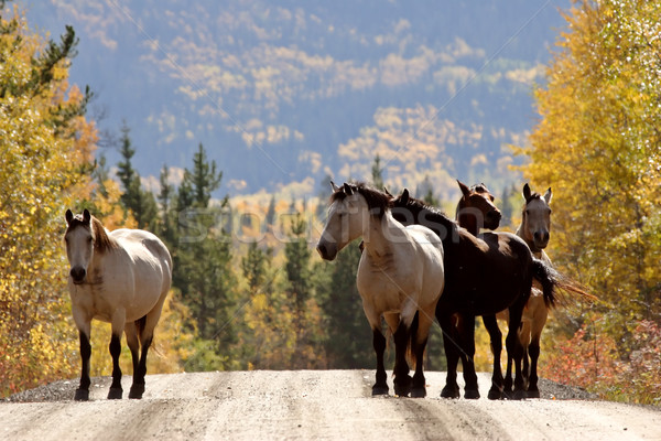 Range horses along British Columbia road Stock photo © pictureguy