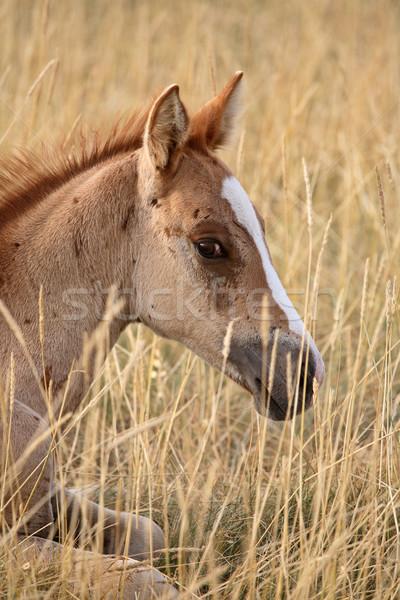 Csikó pihen Saskatchewan testtartás ló szín Stock fotó © pictureguy