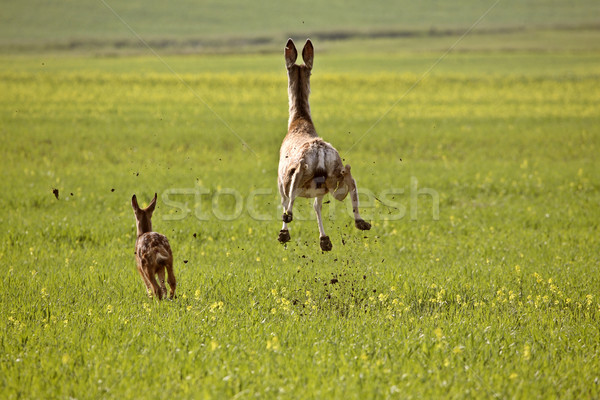 Mule Deer doe and fawn bounding through Saskatchewan field Stock photo © pictureguy