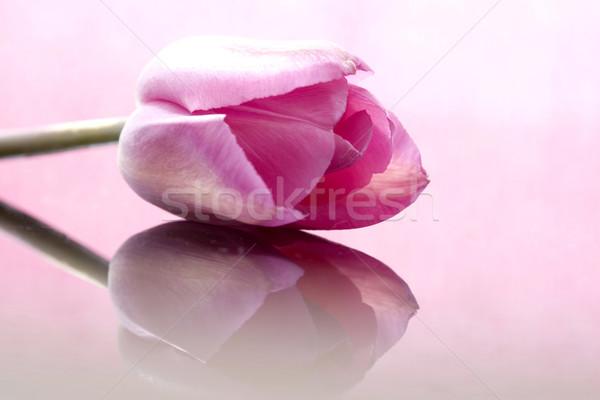 Roze tulp macro studio natuurlijk licht Stockfoto © pictureguy
