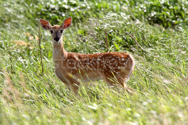 White tailed Deer fawn looking at photographer Stock photo © pictureguy