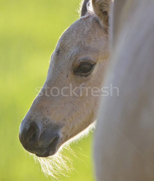 Colt and Mother  Stock photo © pictureguy