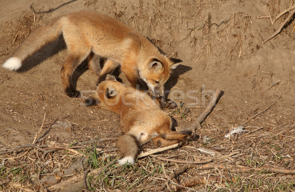 Two Red Fox pups playing outside their den Stock photo © pictureguy