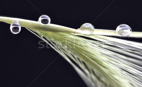Kant van de weg tarwe sluiten studio macro shot Stockfoto © pictureguy
