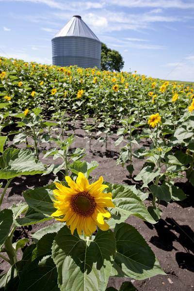Sunflower Field Manitoba Stock photo © pictureguy