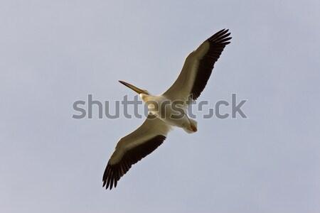 American White Pelican in Flight Canada Stock photo © pictureguy