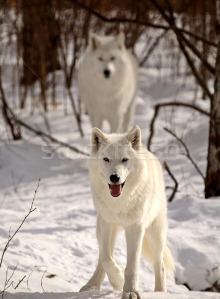 Арктика зима цвета животного Постоянный Сток-фото © pictureguy