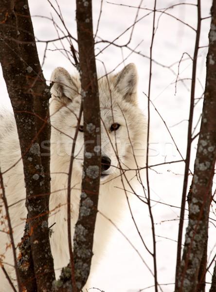 Арктика волка глядя небольшой деревья зима Сток-фото © pictureguy