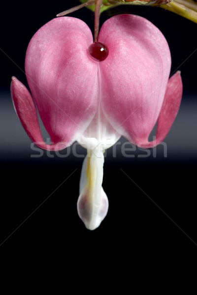 Macro Bleeding Heart Stock photo © pictureguy