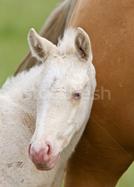 Horse and colt Stock photo © pictureguy