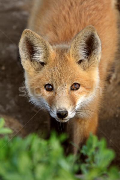 Rosso Fox cucciolo saskatchewan primavera natura Foto d'archivio © pictureguy