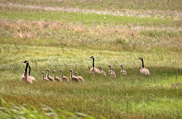 Two families of Canada Geese in a Saskatchewan field Stock photo © pictureguy