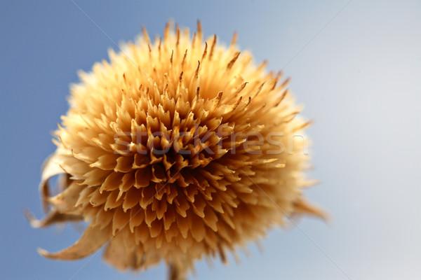 Martwych byka nasion saskatchewan Zdjęcia stock © pictureguy